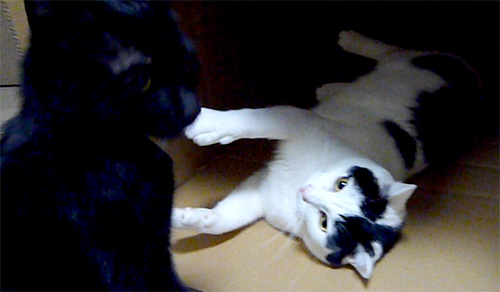 ダンボールで戦う猫たち