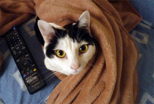 毛布かけてる猫