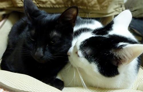 黒猫を嗅ぐ白黒猫