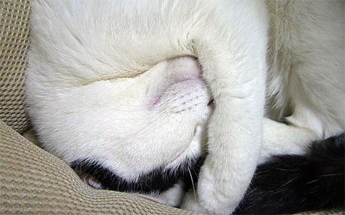 寝てる猫の顔