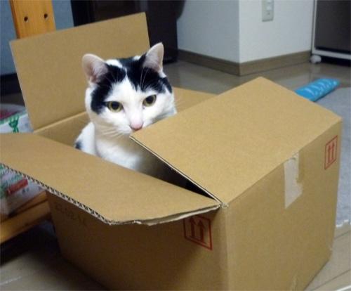 ダンボール箱の中の猫