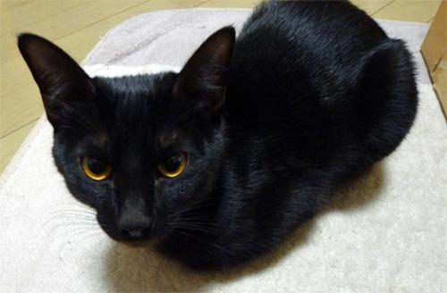 香箱座りの黒猫