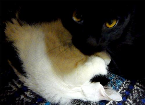 黒猫と寝てるブチ猫