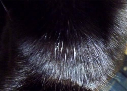 黒猫チョコの胸毛