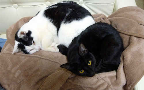 二匹並んで寝ている猫