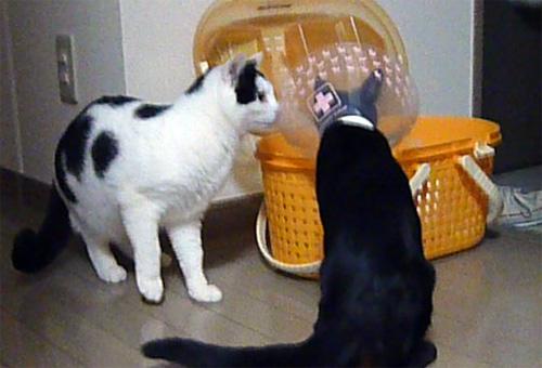 カラー猫と先住猫