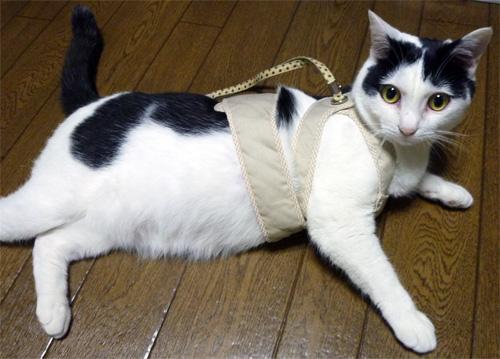 ハーネスをした猫