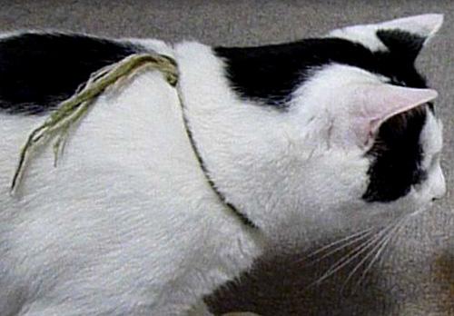 ミサンガ猫