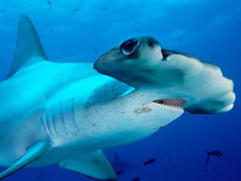 Scalloped_Hammerhead_Shark.jpg