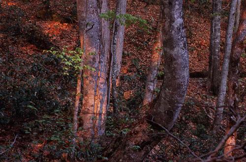 ブナの森1