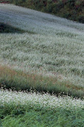 高原のそば畑2