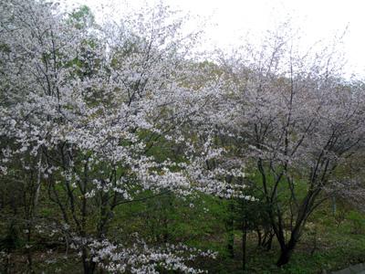 峰の原の桜