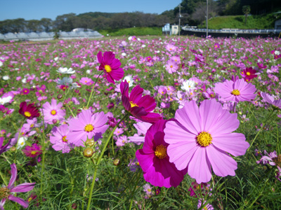 鹿ノ川のコスモス畑