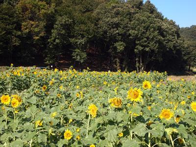笠懸ひまわり畑3