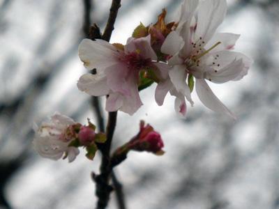 寒桜咲いてた
