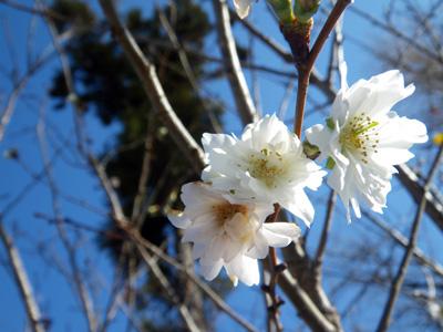 寒桜咲いてたよ