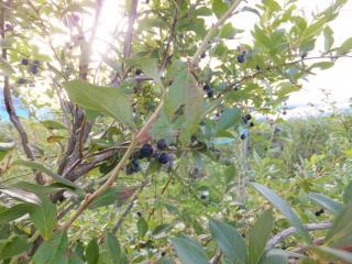 木になるブルーベリー