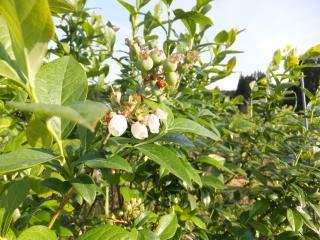 ブルーベリーの花と実