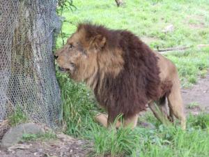 lion_convert_20120731214749.jpg
