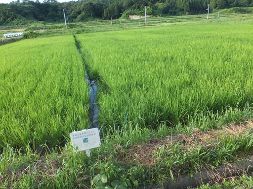 根本顧問の試験水田8.6.2012