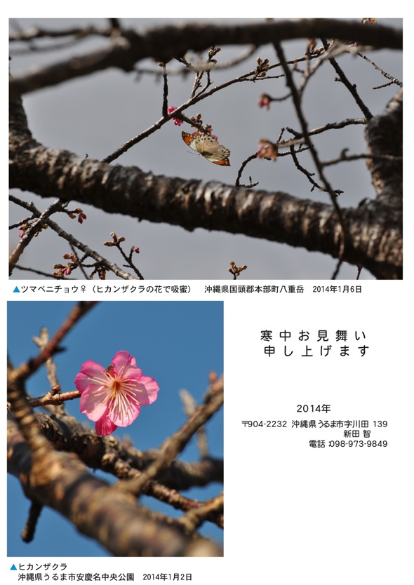 2014年寒中見舞い桜表紙