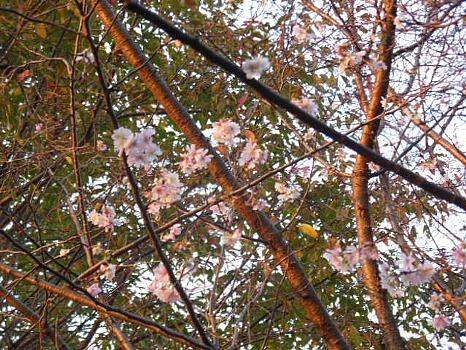 11月の寒桜