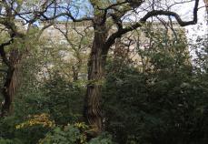 倒れなかった老木