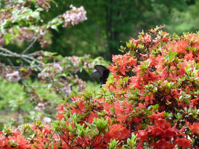 ツツジの蜜を吸う黒アゲハ