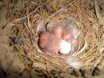 孵化直後と思われるツバメの雛(1)