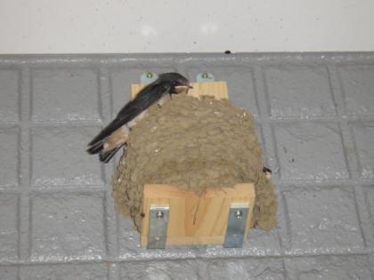 巣に残った雛