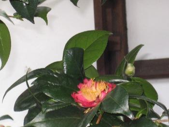 庭の妙蓮寺椿