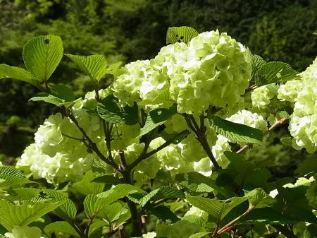 オオデマリ 白花