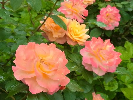 アンネのバラ園に咲いてたバラ