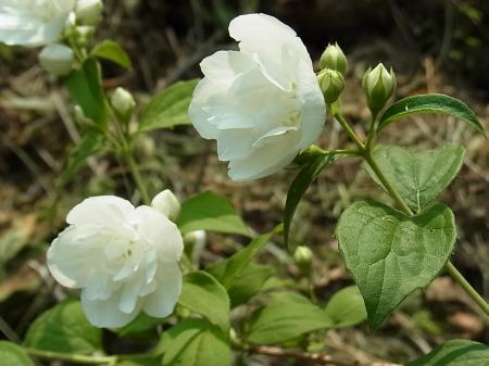 八重咲きバイカウツギ