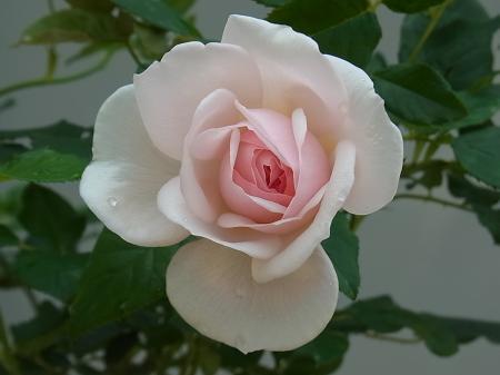イングリッシュヘリテージ(初日の花)