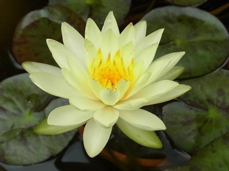 黄色い睡蓮