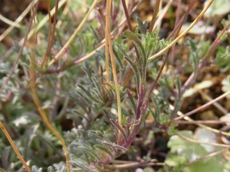 宿根ロベリアの葉
