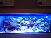 うおっち&もものブログ-サンゴ水槽全体1