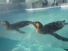 うおっち&もものブログ-キングペンギン