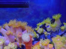 うおっち&ももの海水魚日記-イボヤギ5・6