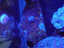 うおっち&ももの海水魚日記-オレンジカクオオトゲキクメイシ