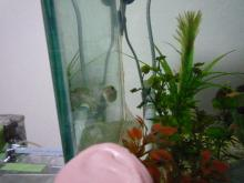 うおっち&ももの海水魚日記-ミドリフグ&チョコ-2