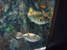 うおっち&ももの海水魚日記-サザナミフグ