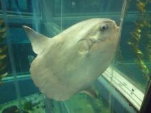 うおっち&ももの海水魚日記-マンボウ