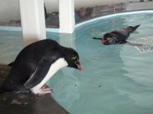 うおっち&ももの海水魚日記-イワトビペンギン1