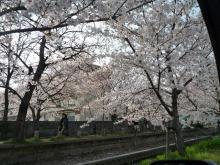 うおっち&ももの海水魚日記-桜4(1)