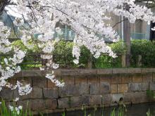 うおっち&ももの海水魚日記-桜3(1)