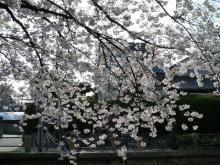 うおっち&ももの海水魚日記-桜1(1)