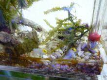 うおっち&ももの海水魚日記-ちびちび3