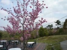 うおっち&ももの海水魚日記-里山桜